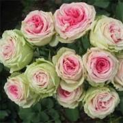 Роза Mimi Eden