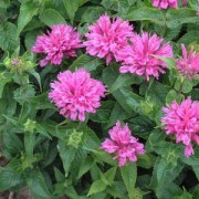 Монарда Petit Pink Delight