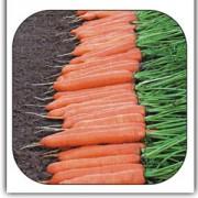 Морковь Монтана
