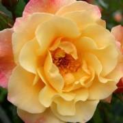 Роза Moonlight