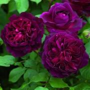 Роза Munstead Wood