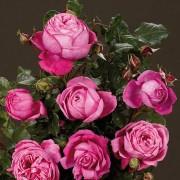 Роза Natalie