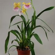 Орхидея Sunset