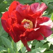 Пион ITOH Sonoma Velvet Ruby