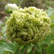 Пион Spring Willow Chun Liu древовидный