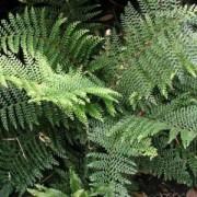 Папоротник niponicum Wollastonii