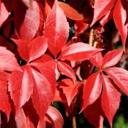 Виноград девичий Guinguefolia