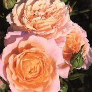 Роза Peach Clementine