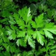 Петрушка ароматная (листовая)