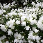 Чубушник Bouquet Blanc