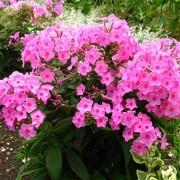 Флокс Flame Pink