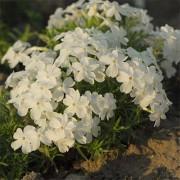 Флокс White Delight