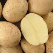 Картофель Latona