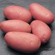 Картофель Rodeo