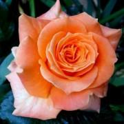 Роза Flora Danica