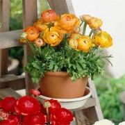 Ранункулюс Tomer Orange