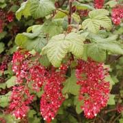 Смородина кроваво-красная Pulborough Scarlet
