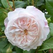 Роза The Albrighton Rambler (плетистая)