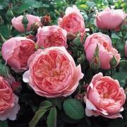 Роза The Alnwick