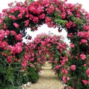Роза American Pillar (плетистая)
