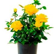 Роза Bahama