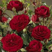 Роза Balmoral
