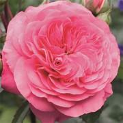 Роза Baroness