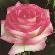 Роза Biedermeier Garden