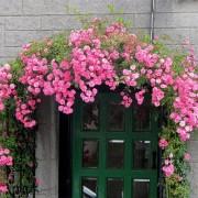 Роза Chaplin's Pink