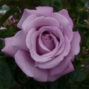 Роза Charles de Gaulle