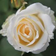 Роза Chopin