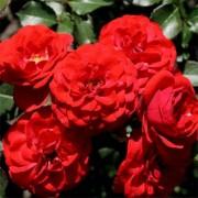 Роза Cordula