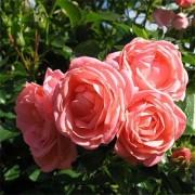 Роза Cosmos