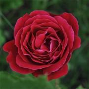 Роза Dame de Coeur
