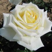 Роза Diamond Days