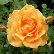 Роза Easy Going