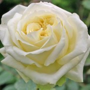 Роза Elfe