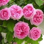 Роза Etude