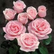 Роза Frederic Mistral