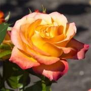 Роза Ibiza