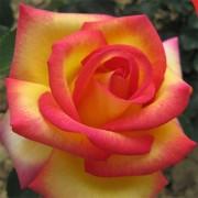 Роза Jean Piat