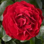 Роза King Arthur