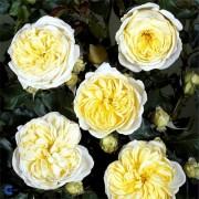 Роза Kronprinsesse Mary
