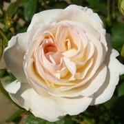 Роза Lions Rose
