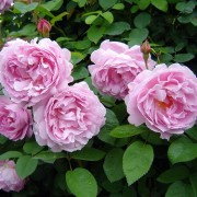 Роза Mary Rose