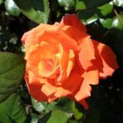 Роза Monica