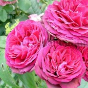 Роза Pink Musimara