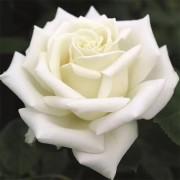 Роза Polarstern