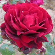 Роза Red Abundance