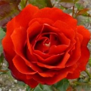 Роза Remembrance